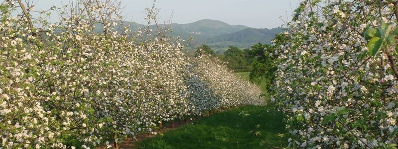 Through the cider blossom