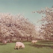 sheep in orchard