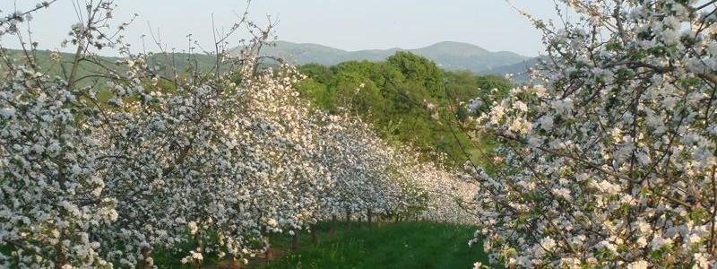 Cider blossom