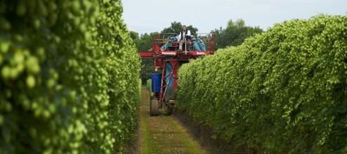 Harvesting the hops