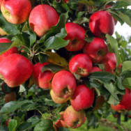 Farmers Harvest The Autumn Apple Crop
