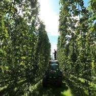 hop-harvest-2-e1385650173785-1